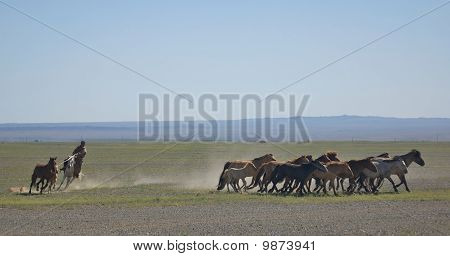 Rounding Up in Mongolia