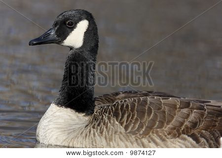 Canada goose close-up. The bird is swimming. New Jersey, USA. poster