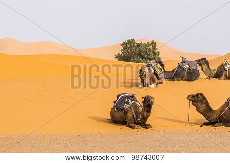Dunes Erg Chebbi near Merzouga, Morocco -Camels used for tours into the erg