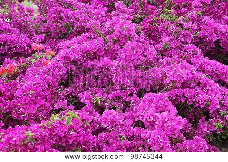 Tiny white bougainvillea flowers with pink bracts family of nyctaginaceae. poster