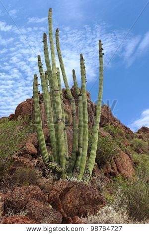 Organ Pipe Cactus in Organ Pipe National Park Arizona