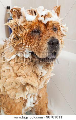 Bathroom To A Dog Chow Chow