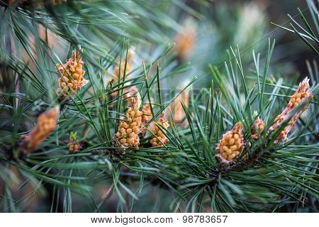 Scots Pine Branches With Yellow Male Cones