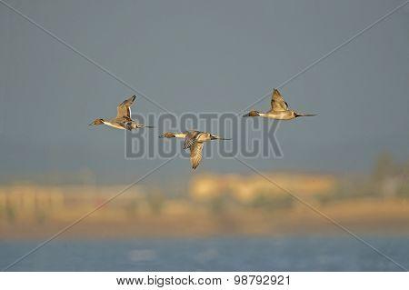 Pintail Duck Anas acuta three males in flight