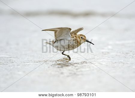 Dunlin Calidris alpina flying from the sea