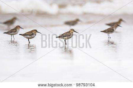 Dunlins Calidris alpina standing in the sea