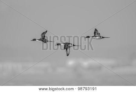 Northern pintail Anas acuta three males in flight