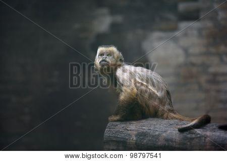 Weeper Capuchin Monkey