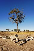 Elephant (Loxodonta africana) Skeleton lying on the ground in front of a large tree poster