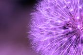 Purple dandelion background. poster