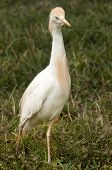 Crane bird walking on a swamp at Everglades National Park, Florida poster
