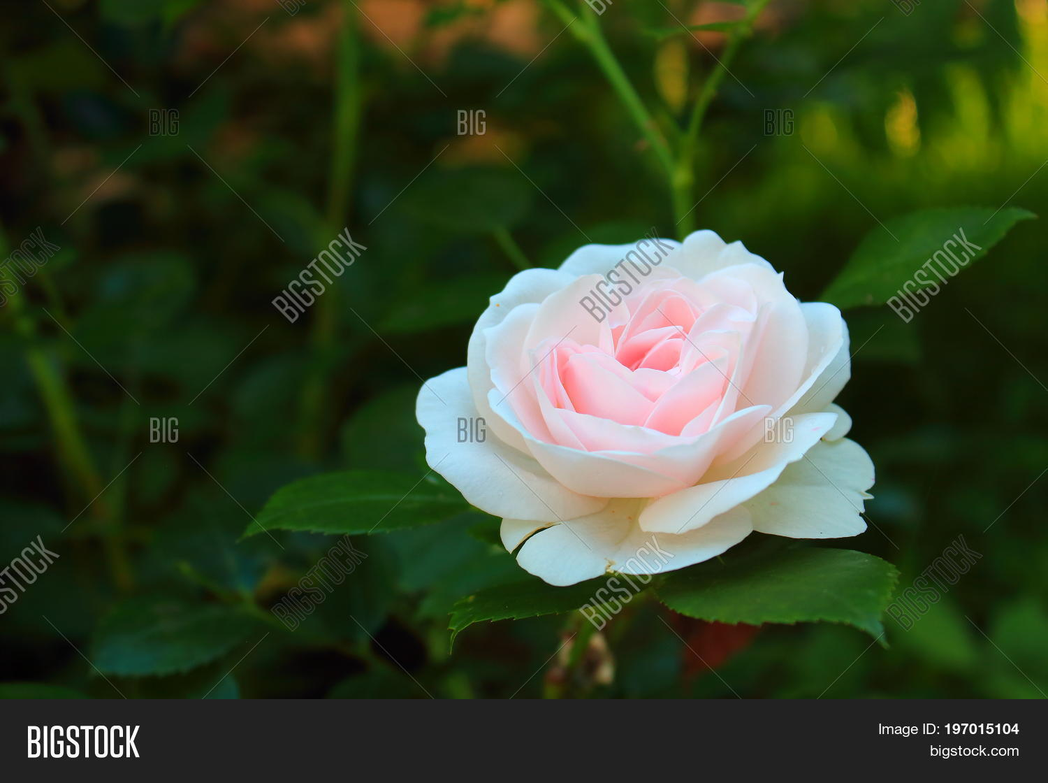 Delicate Pink Rose Image Photo Free Trial Bigstock