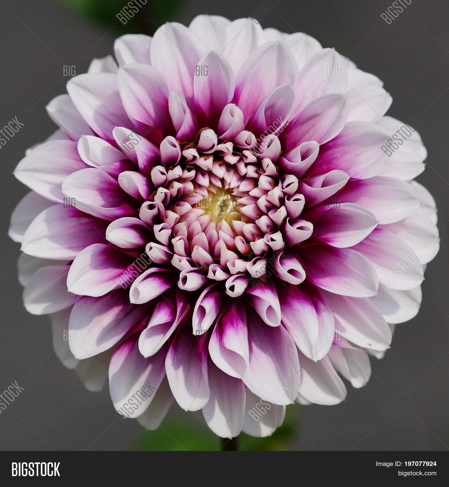 Dahlia Dahlia Image Photo Free Trial Bigstock