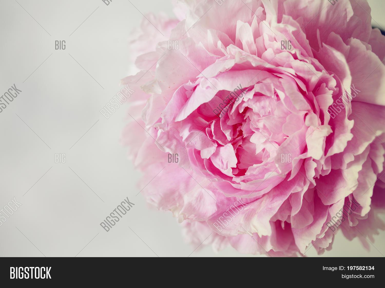 Fresh Bunch Pink White Image Photo Free Trial Bigstock