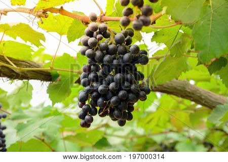 Grape cluster hanging on the vine - soft focus