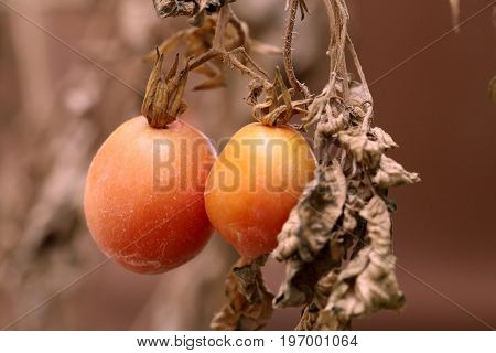 Tomatoes on withered dead plant, drought concept.