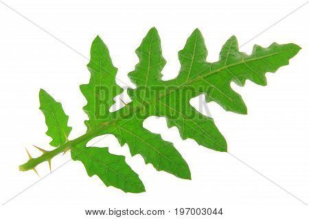Solanum sisymbriifolium (common names: vila-vila sticky nightshade red buffalo-bur fire-and-ice plant litchi tomato) single leaf isolated against white background