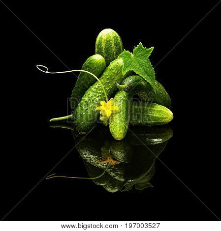 Bunch of fresh cucumbers leaf and flower with water drops isolated on black with real reflection