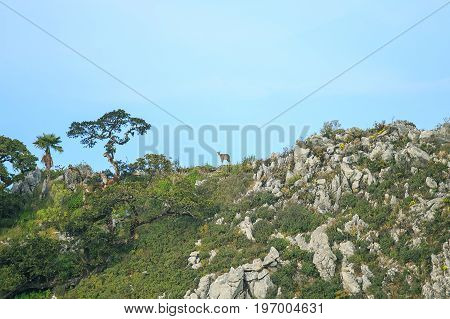 chamois or deer on the top of rock or stone mountain in the forest.