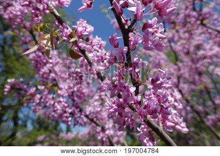 Beautiful Pink Flowers Of Cercis Canadensis In Spring