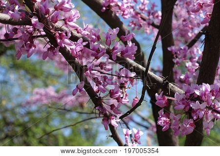 Branches Of Cercis Canadensis With Lots Of Flowers