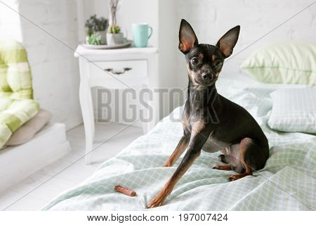 Dogs beautiful morning. Toy Terrier in white room. Favorite pet friend