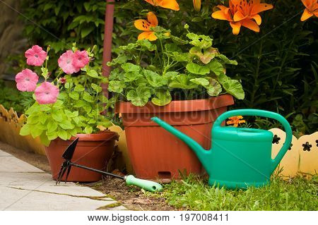 Young Plants Flowers Of Petunia And Pelargoium In Potted Watering Can And Fork In Summer Garden Outdoor.