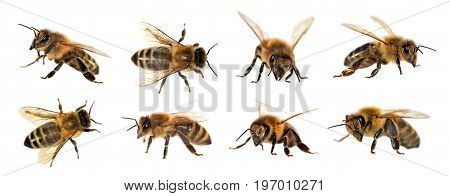 group of bee or honeybee in Latin Apis Mellifera european or western honey bee isolated on the white background golden honeybee