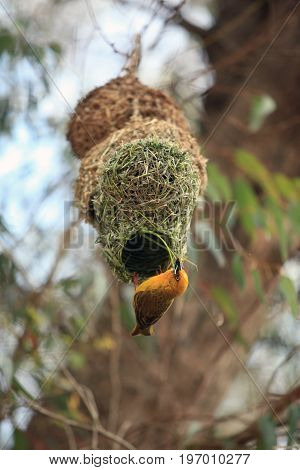 Weaver bright African bird building his nest South Africa