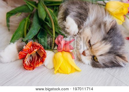 Fluffy cat having relax on wooden floor and looking on flowers. Family pet with white breast and long whiskers, close up portrait. Celebration, good morning, woman's day concept