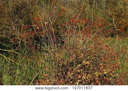 An Autumn View On The Bush Of A Guelder Rose, On Which Has Grown