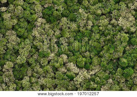 Reindeer moss wall, green wall decoration made of reindeer lichen Cladonia rangiferina.Texture