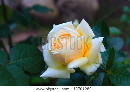 Large soft yellow Rose with leaves in the garden. Beautiful yellow and white rose on the bush. Landscaping. Caring for garden roses shrubs. Wallpaper for desktop, foto for calendar