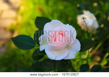 Soft pink Rose in the garden. Pink and white roses with leaves on the bush. Landscaping. Caring for garden roses shrubs. Wallpaper for desktop, foto for calendar
