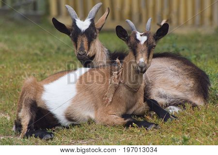 Two goats have rest on green meadow - russian village, telephoto