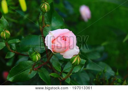 A single pale pink rose with buds on the bush. Rose Bush in the garden. Landscaping. Caring for garden shrubs. Wallpaper for desktop, foto for calendar