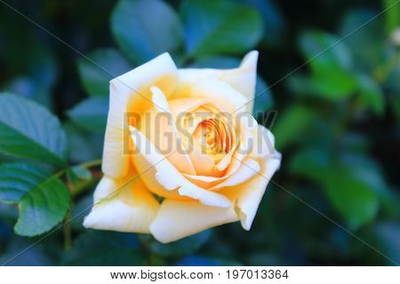 Beautiful glowing yellow rose for the calendar. Beautiful large yellow rose on the bushes. Rose Bush in the garden with bokeh. Landscaping. Caring for garden roses. Wallpaper for desktop, foto for calendar
