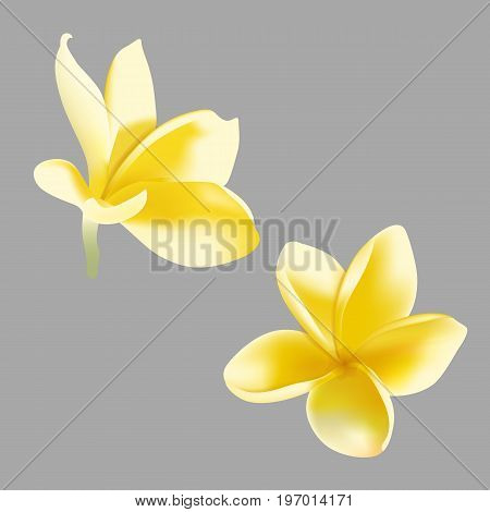 Vector illustration of realistic frangipani flower on gray background.