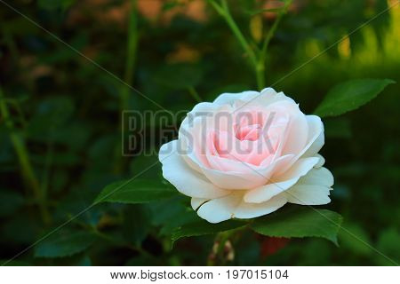 Delicate pink Rose with leaves in the garden. Beautiful pink and white rose on the bushes. Landscaping. Caring for garden roses. Wallpaper for desktop,  for calendar, for valentine