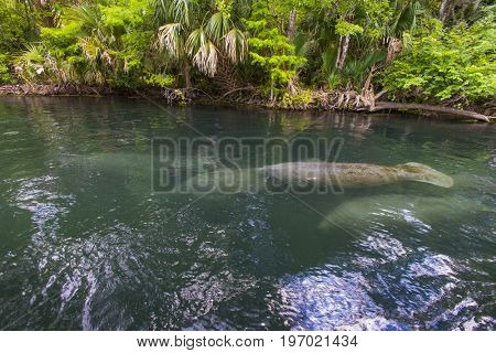 Manatee swimming up the beautiful Silver River in Florida to stay warm in the winter