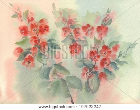 quince red flowering watercolor on light background