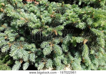 Spring Leafage Of Colorado Blue Spruce Tree