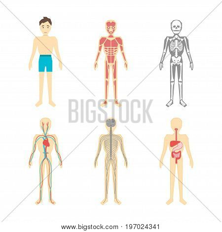 Cartoon Color Human Anatomical System Set Muscle, Skeleton, Nerve, Circulation and Stomach Poster Flat Style Design. Vector illustration