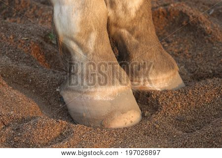 Horse hoof and pastern view at the seashore