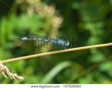 Blue Damselfly Coenagrionidae on grass stem macro selective focus shallow DOF.