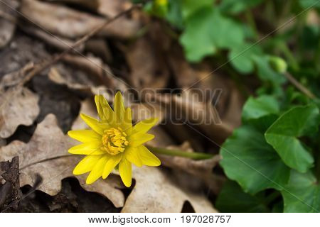 Yellow flower Caltha palustris. Poisonous plant. Shallow depth of field
