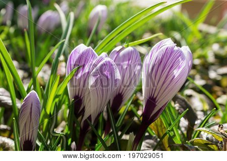 Buds of flowers of the striped crocus close-up. genuine photo. Shallow depth of field