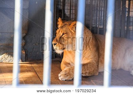 Close up beautiful calm lioness in captivity behind bars