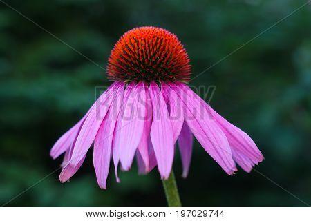 flower echinacea purpurea purple pink bloom fresh herbal medicinal plant summer floral blossom
