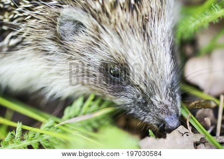 Funny hedgehog, lies in the hands up the back legs, close-up